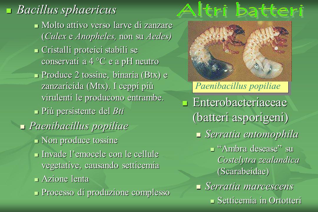 Enterobacteriaceae (batteri asporigeni)