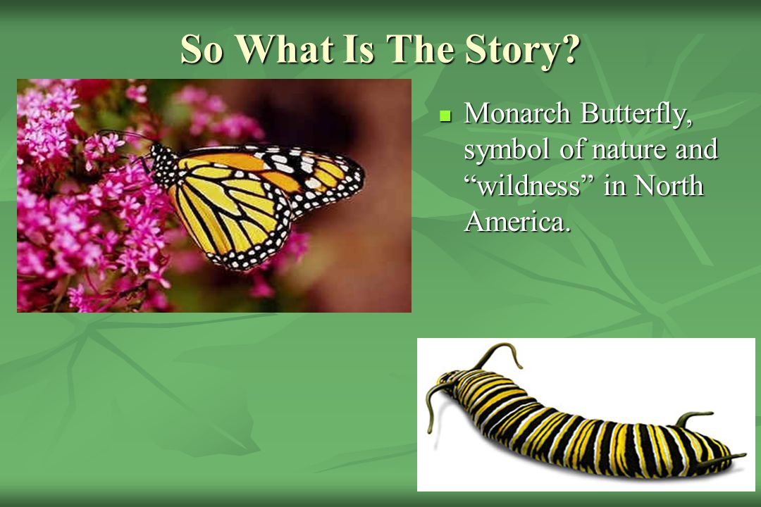 So What Is The Story Monarch Butterfly, symbol of nature and wildness in North America.