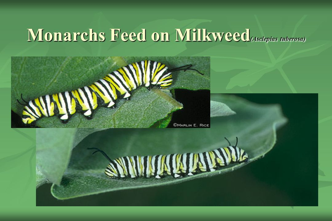 Monarchs Feed on Milkweed(Asclepias tuberosa)