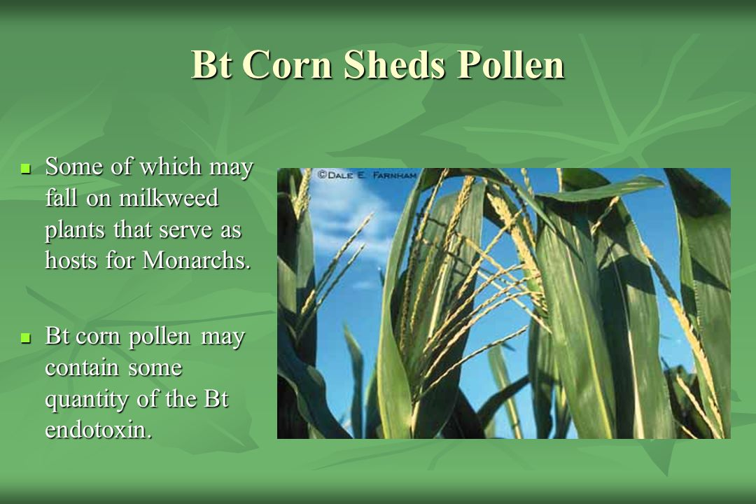 Bt Corn Sheds Pollen Some of which may fall on milkweed plants that serve as hosts for Monarchs.