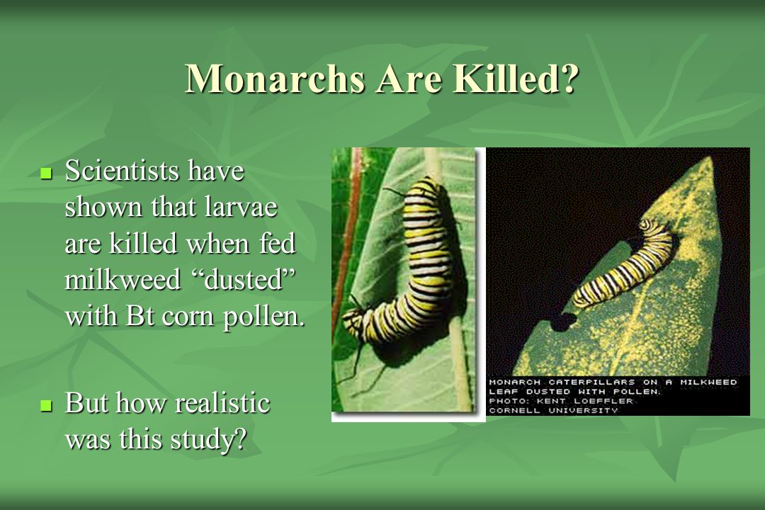 Monarchs Are Killed Scientists have shown that larvae are killed when fed milkweed dusted with Bt corn pollen.