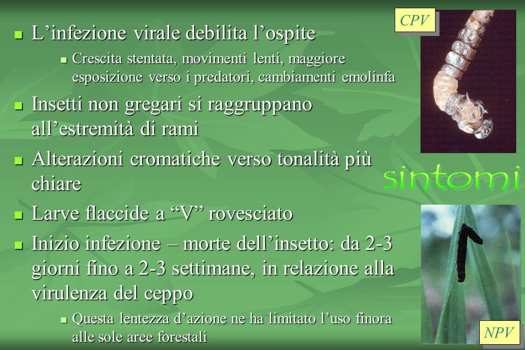 sintomi L'infezione virale debilita l'ospite