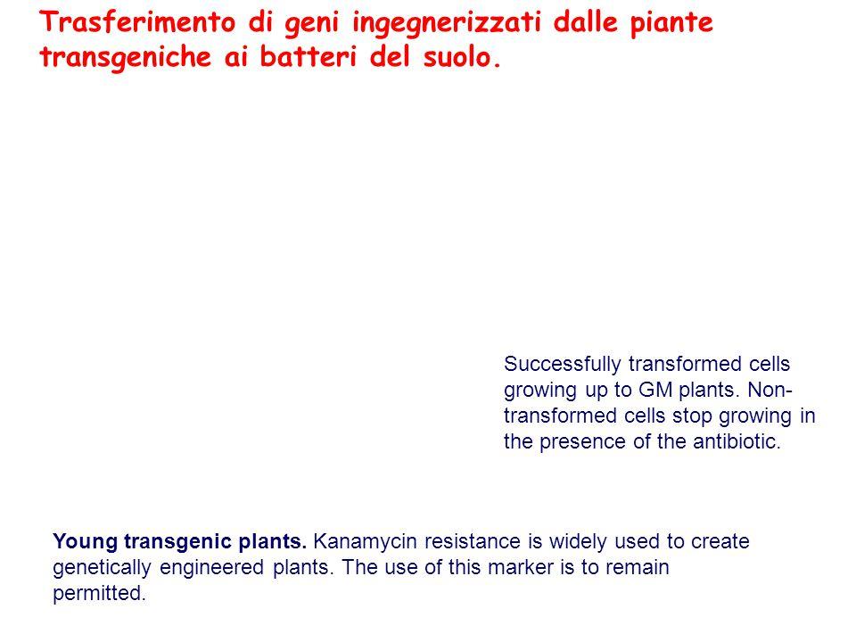 Trasferimento di geni ingegnerizzati dalle piante transgeniche ai batteri del suolo.