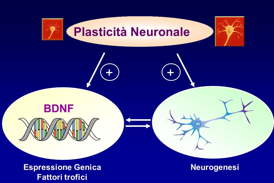 + + Plasticità Neuronale BDNF Espressione Genica Fattori trofici