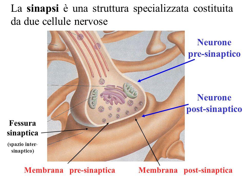 La sinapsi è una struttura specializzata costituita da due cellule nervose