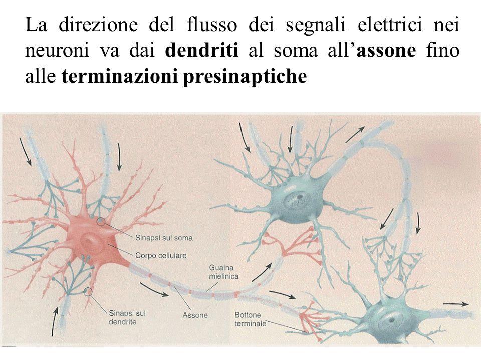 La direzione del flusso dei segnali elettrici nei neuroni va dai dendriti al soma all'assone fino alle terminazioni presinaptiche