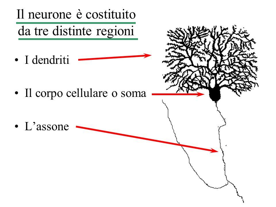 Il neurone è costituito da tre distinte regioni