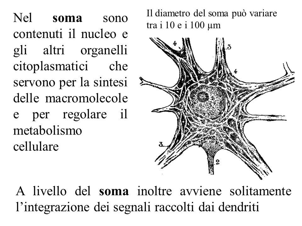 Il diametro del soma può variare tra i 10 e i 100 µm