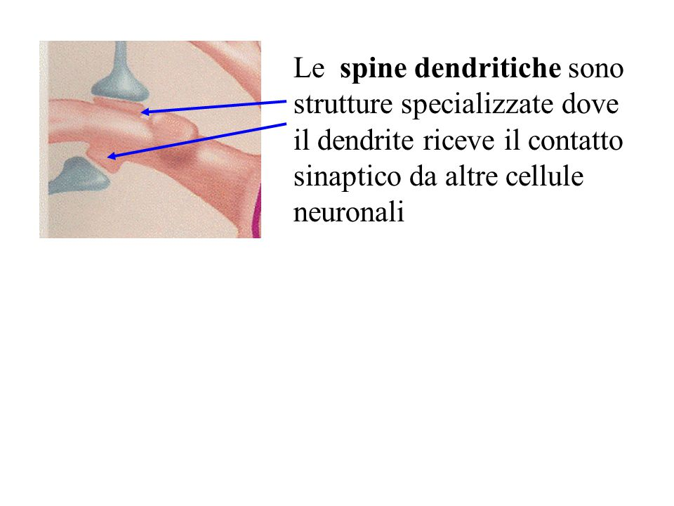 Le spine dendritiche sono strutture specializzate dove il dendrite riceve il contatto sinaptico da altre cellule neuronali