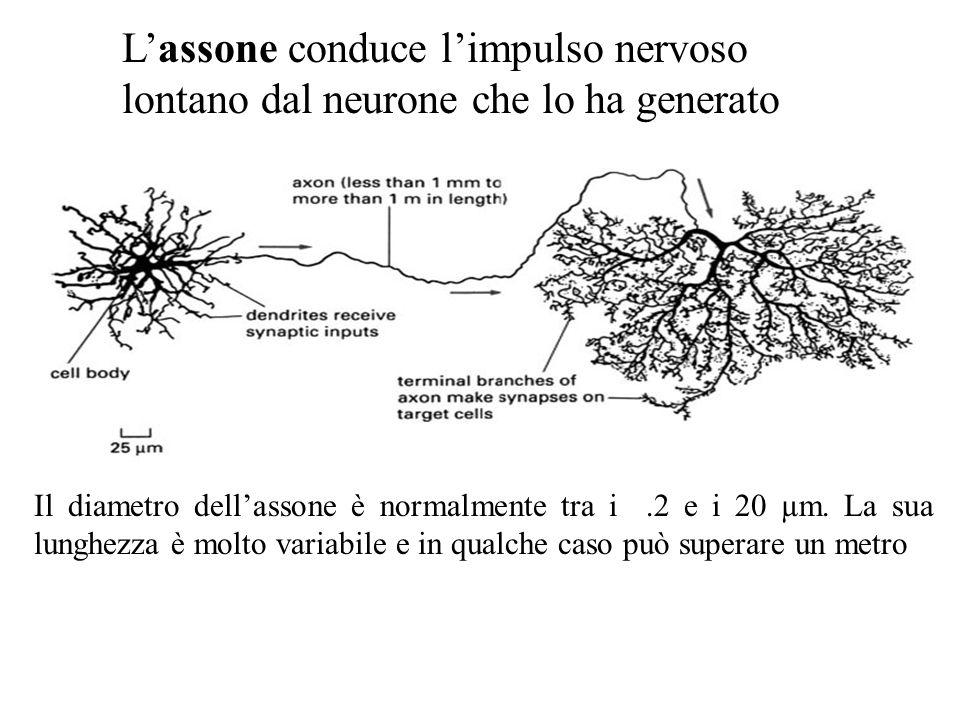 L'assone conduce l'impulso nervoso lontano dal neurone che lo ha generato