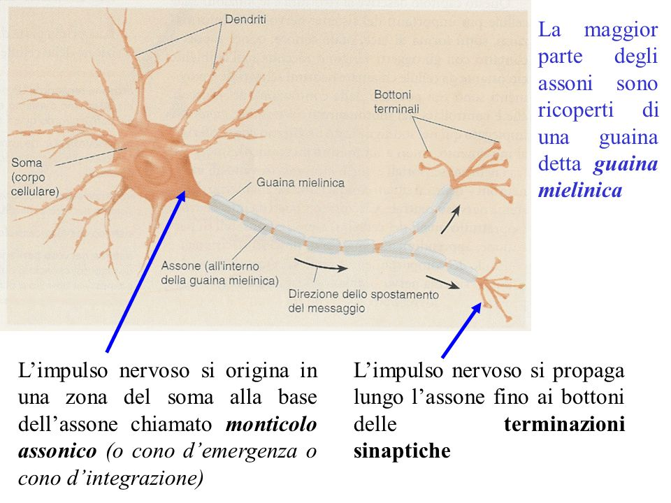 La maggior parte degli assoni sono ricoperti di una guaina detta guaina mielinica