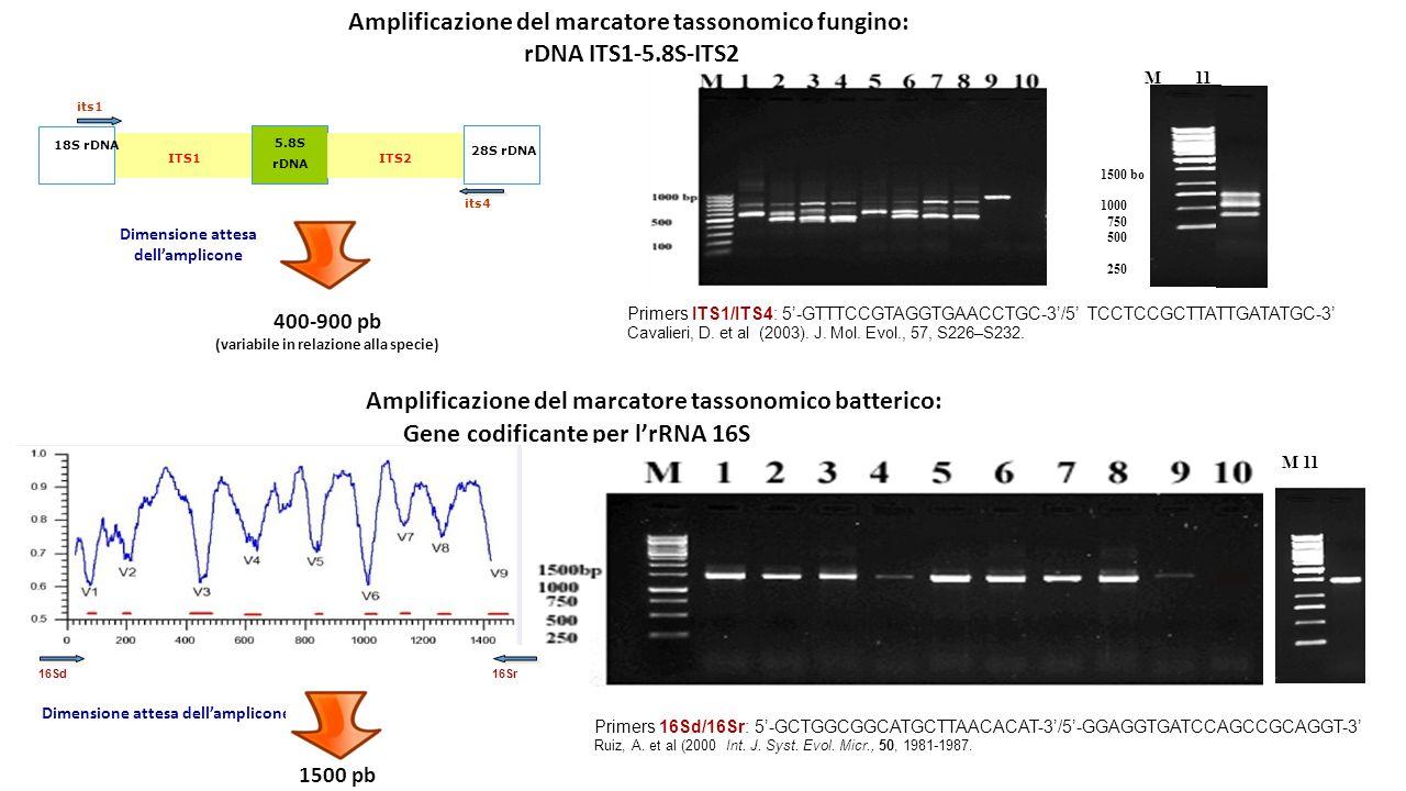 Amplificazione del marcatore tassonomico fungino: rDNA ITS1-5.8S-ITS2