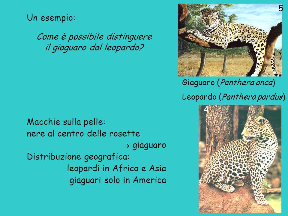 Come è possibile distinguere il giaguaro dal leopardo