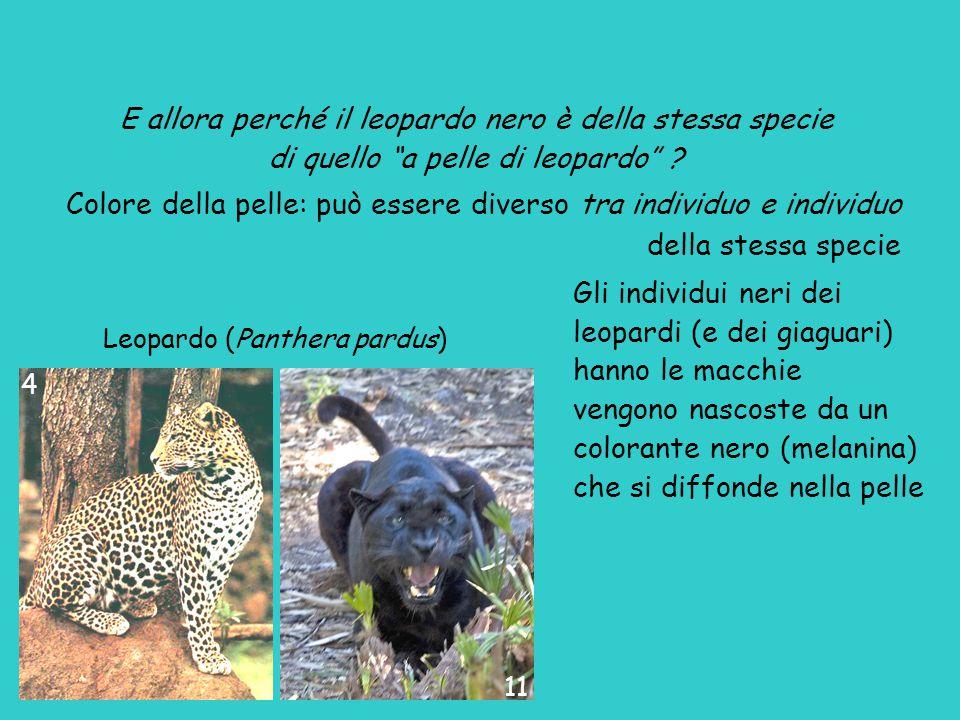E allora perché il leopardo nero è della stessa specie