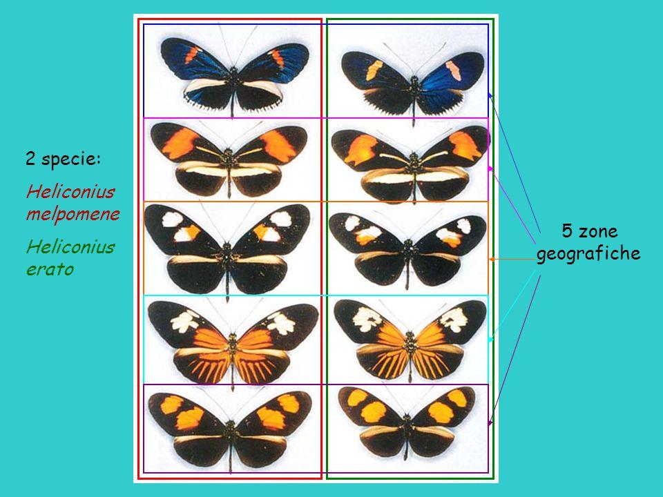 2 specie: Heliconius melpomene erato 5 zone geografiche