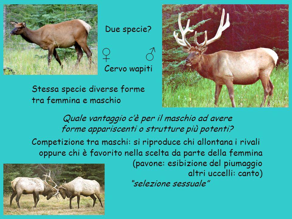 ♀ ♂ Due specie Cervo wapiti Stessa specie diverse forme