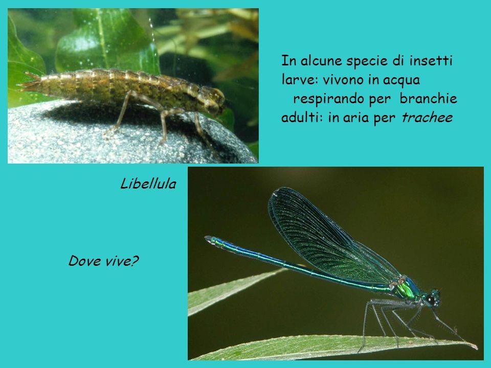 In alcune specie di insetti