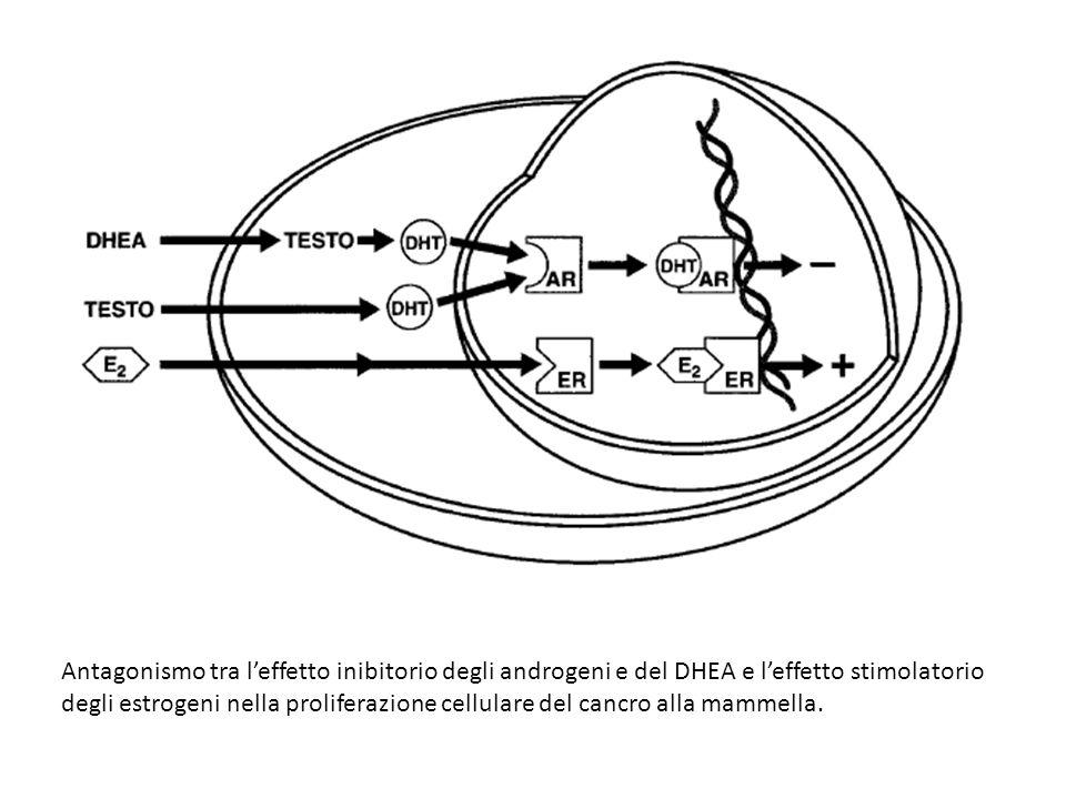 Antagonismo tra l'effetto inibitorio degli androgeni e del DHEA e l'effetto stimolatorio degli estrogeni nella proliferazione cellulare del cancro alla mammella.