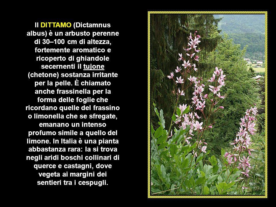 Il DITTAMO (Dictamnus albus) è un arbusto perenne di 30–100 cm di altezza, fortemente aromatico e ricoperto di ghiandole secernenti il tujone (chetone) sostanza irritante per la pelle.