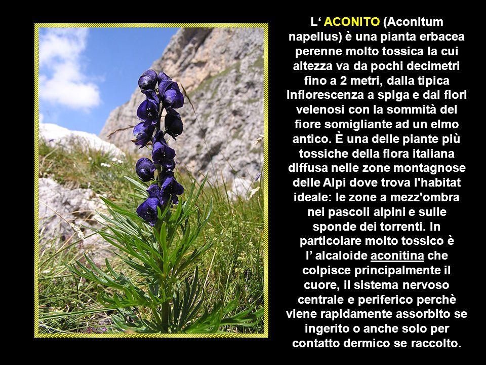 L' ACONITO (Aconitum napellus) è una pianta erbacea perenne molto tossica la cui altezza va da pochi decimetri fino a 2 metri, dalla tipica infiorescenza a spiga e dai fiori velenosi con la sommità del fiore somigliante ad un elmo antico. È una delle piante più tossiche della flora italiana diffusa nelle zone montagnose delle Alpi dove trova l habitat ideale: le zone a mezz ombra nei pascoli alpini e sulle sponde dei torrenti. In particolare molto tossico è