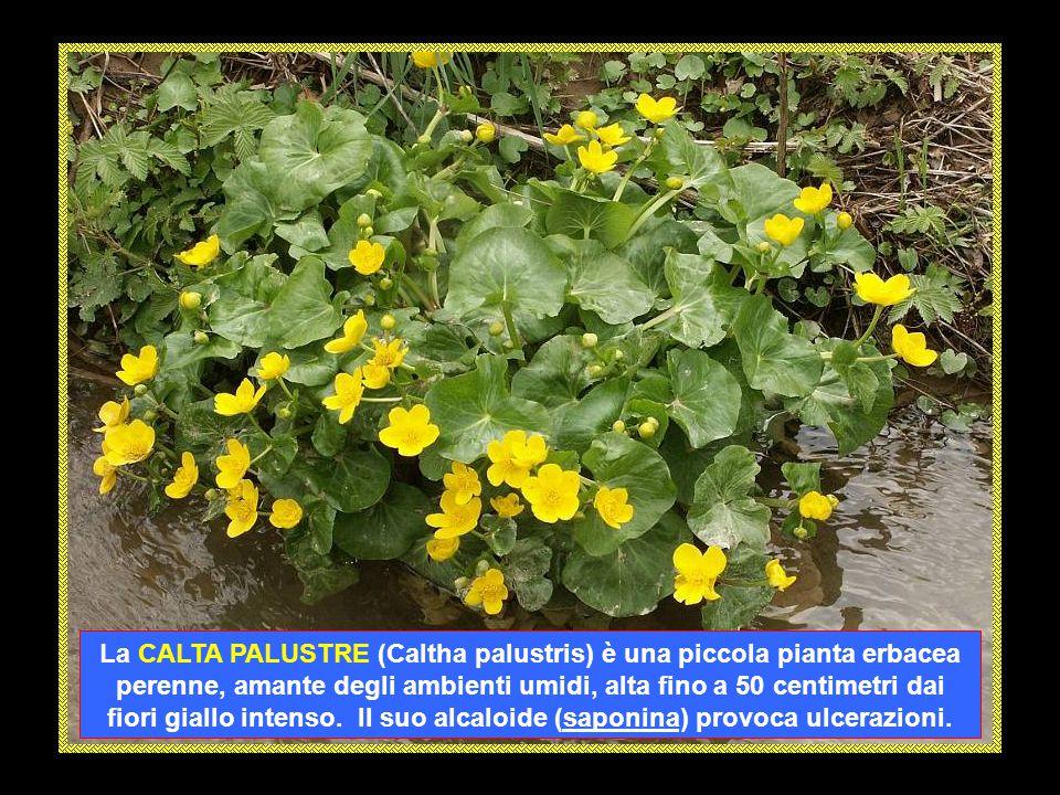 La CALTA PALUSTRE (Caltha palustris) è una piccola pianta erbacea perenne, amante degli ambienti umidi, alta fino a 50 centimetri dai fiori giallo intenso.