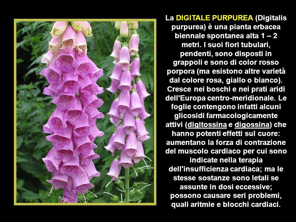 La DIGITALE PURPUREA (Digitalis purpurea) è una pianta erbacea biennale spontanea alta 1 – 2 metri.