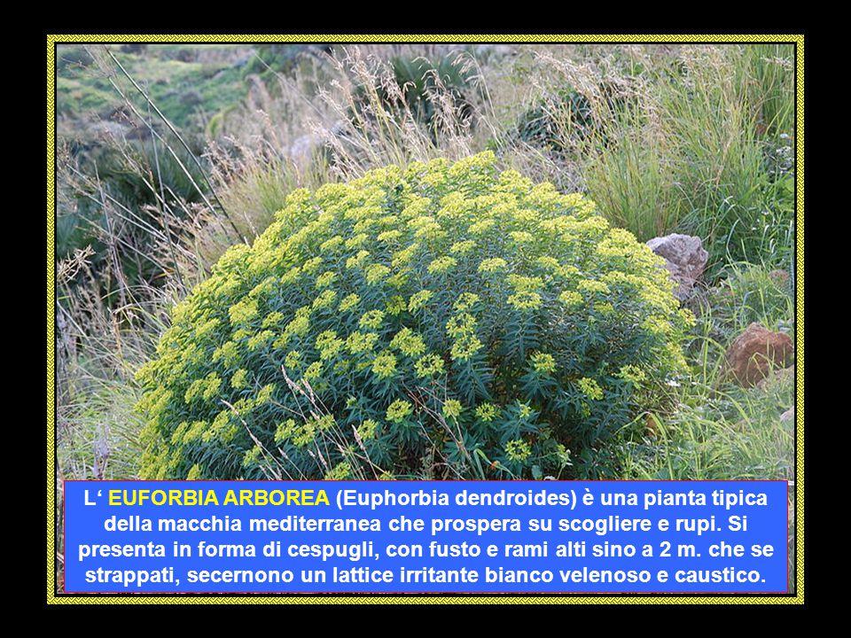 L' EUFORBIA ARBOREA (Euphorbia dendroides) è una pianta tipica della macchia mediterranea che prospera su scogliere e rupi.