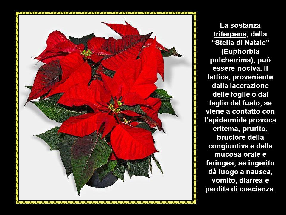 La sostanza triterpene, della Stella di Natale (Euphorbia pulcherrima), può essere nociva.