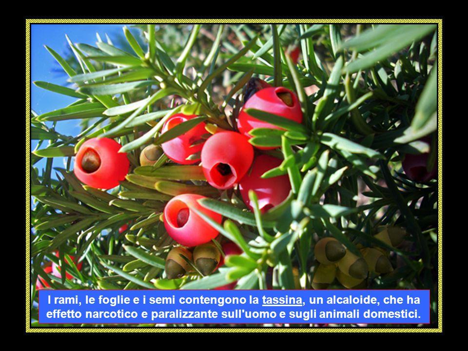 Il TASSO (Taxus baccata) è una pianta sempreverde alta tra i 10 e i 20 metri appartenente alla famiglia delle conifere e per i suoi semi velenosi, è conosciuto anche con il nome di albero della morte .