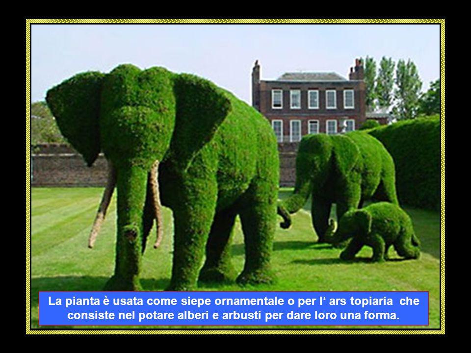 La pianta è usata come siepe ornamentale o per l' ars topiaria che consiste nel potare alberi e arbusti per dare loro una forma.