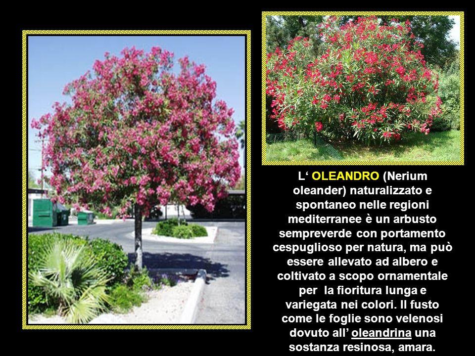 L' OLEANDRO (Nerium oleander) naturalizzato e spontaneo nelle regioni mediterranee è un arbusto sempreverde con portamento cespuglioso per natura, ma può essere allevato ad albero e coltivato a scopo ornamentale per la fioritura lunga e variegata nei colori.