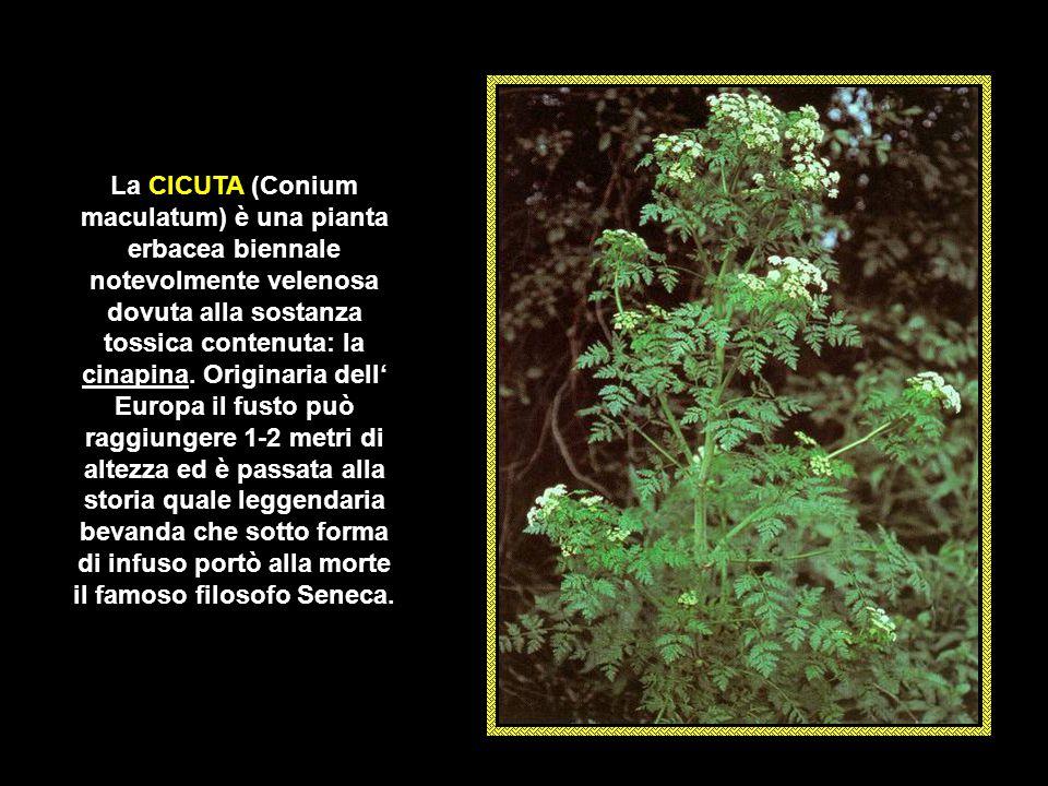 La CICUTA (Conium maculatum) è una pianta erbacea biennale notevolmente velenosa dovuta alla sostanza tossica contenuta: la cinapina.