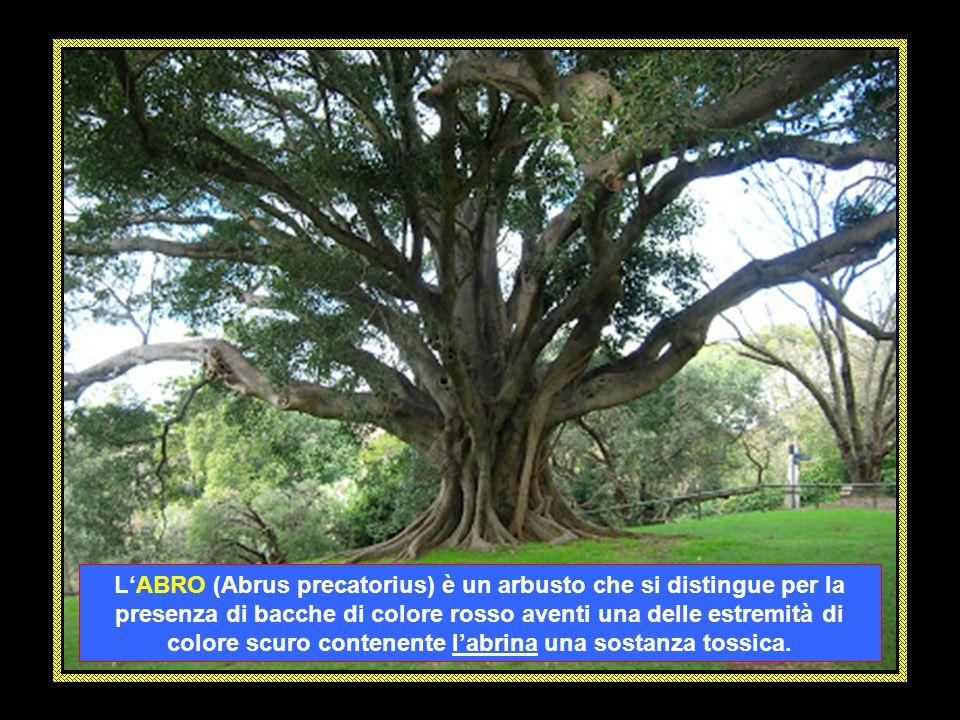 L'ABRO (Abrus precatorius) è un arbusto che si distingue per la presenza di bacche di colore rosso aventi una delle estremità di colore scuro contenente l'abrina una sostanza tossica.