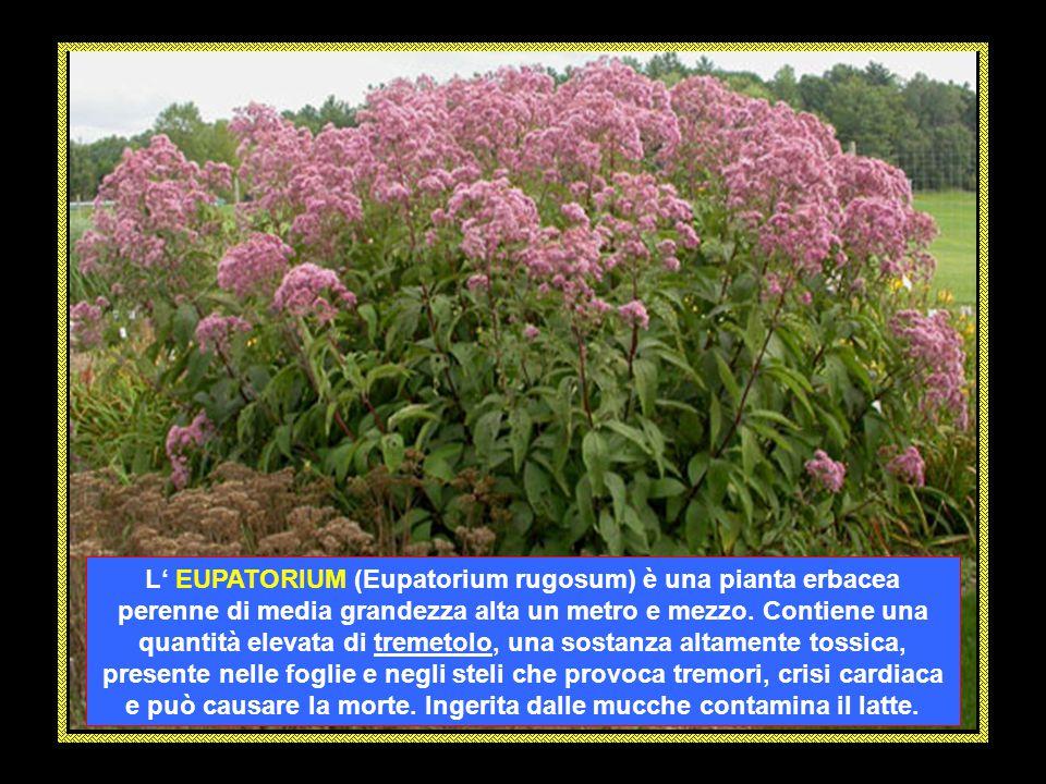 L' EUPATORIUM (Eupatorium rugosum) è una pianta erbacea perenne di media grandezza alta un metro e mezzo.