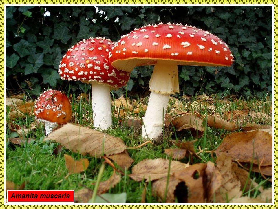 I FUNGHI rappresentano una delle cause più comuni di avvelenamento e di intossicazione alimentare. La famiglia dei funghi comprende esemplari velenosi come la ben nota Amanita phalloides che contiene una microtossina e per questo è bene non improvvisarsi raccoglitori di funghi ma rivolgersi ad esperti.