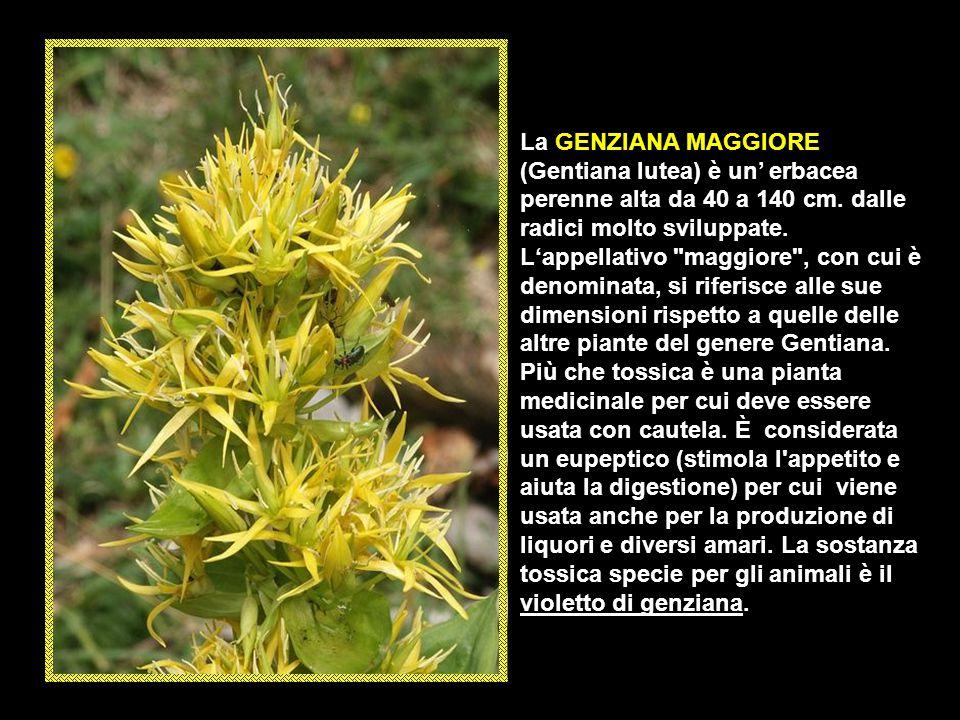 La GENZIANA MAGGIORE (Gentiana lutea) è un' erbacea perenne alta da 40 a 140 cm.
