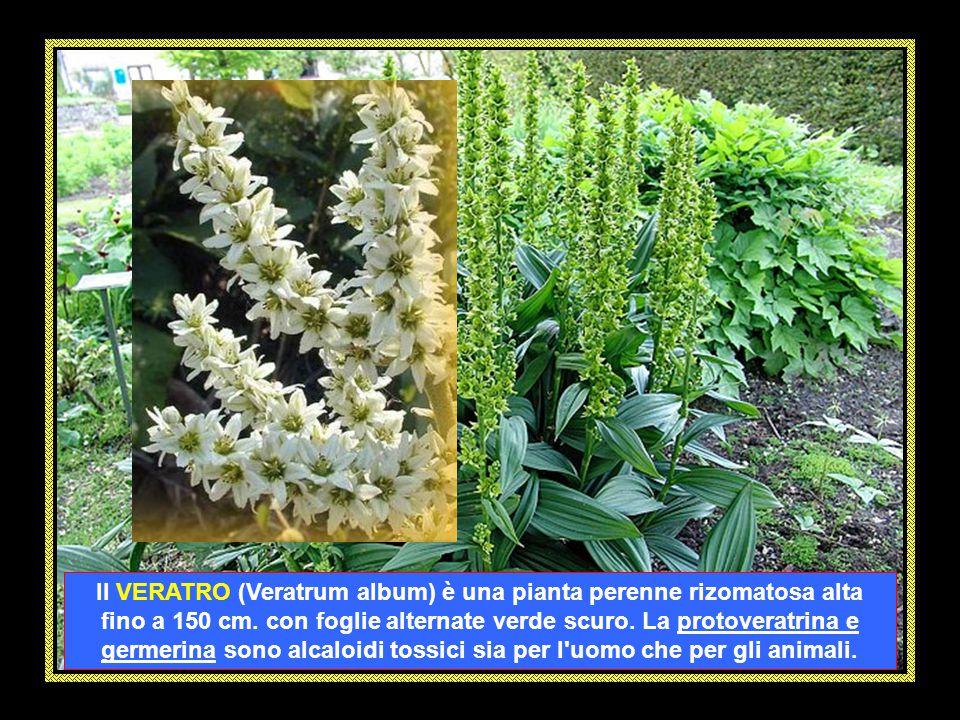 Il VERATRO (Veratrum album) è una pianta perenne rizomatosa alta fino a 150 cm.