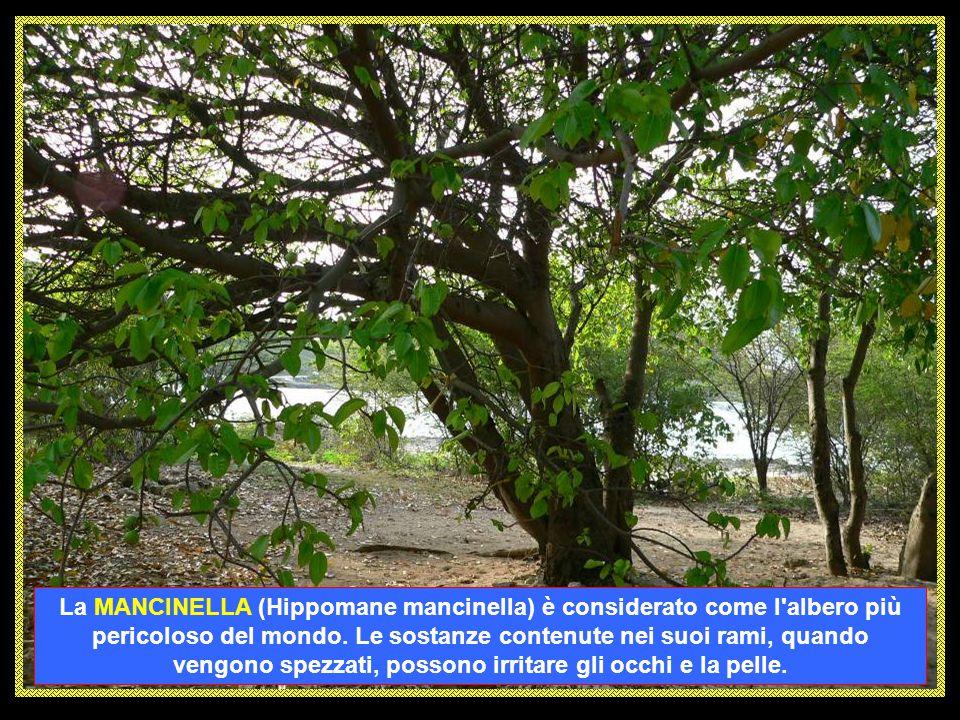 La MANCINELLA (Hippomane mancinella) è considerato come l albero più pericoloso del mondo.