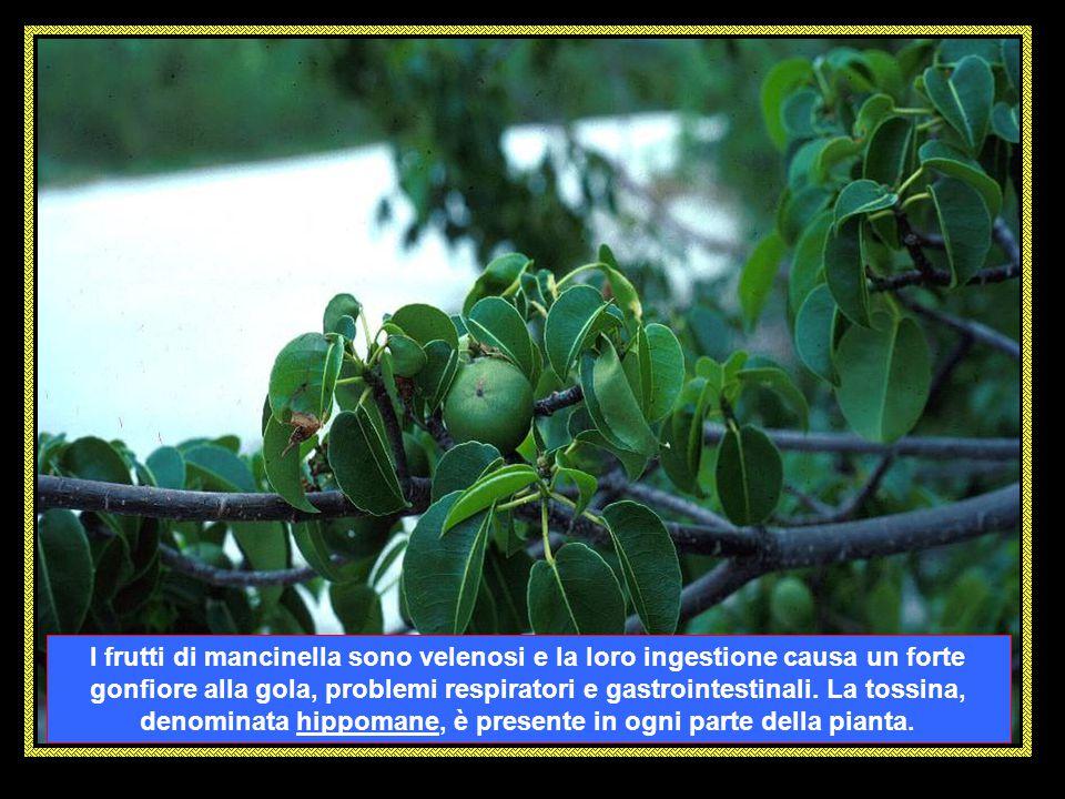 I frutti di mancinella sono velenosi e la loro ingestione causa un forte gonfiore alla gola, problemi respiratori e gastrointestinali.