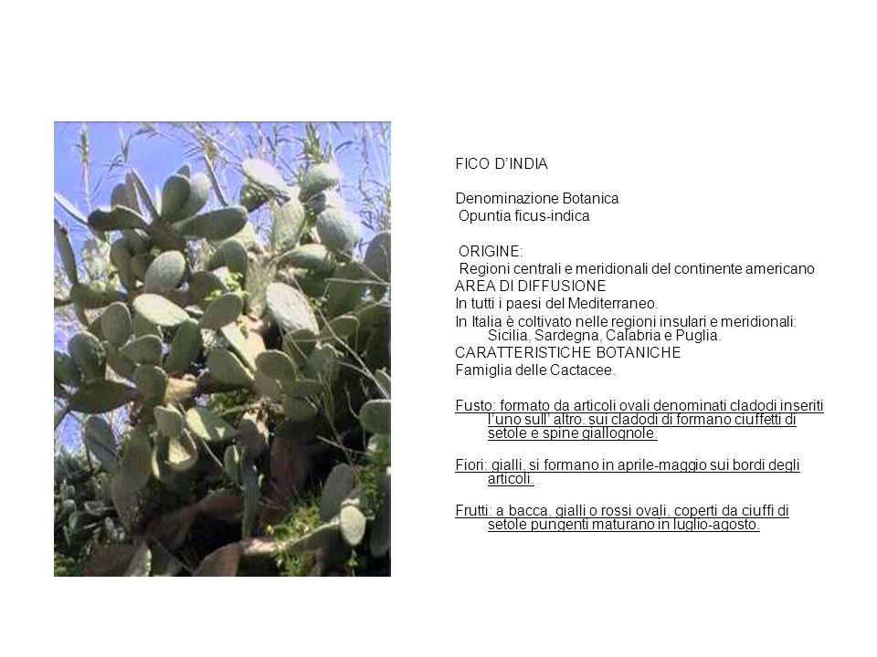 FICO D'INDIA Denominazione Botanica. Opuntia ficus-indica. ORIGINE: Regioni centrali e meridionali del continente americano.