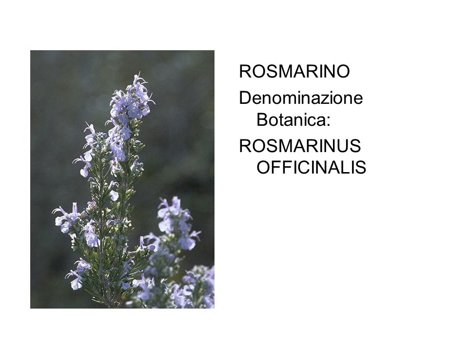 ROSMARINO Denominazione Botanica: ROSMARINUS OFFICINALIS