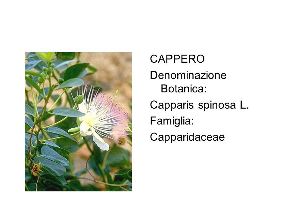 CAPPERO Denominazione Botanica: Capparis spinosa L. Famiglia: Capparidaceae