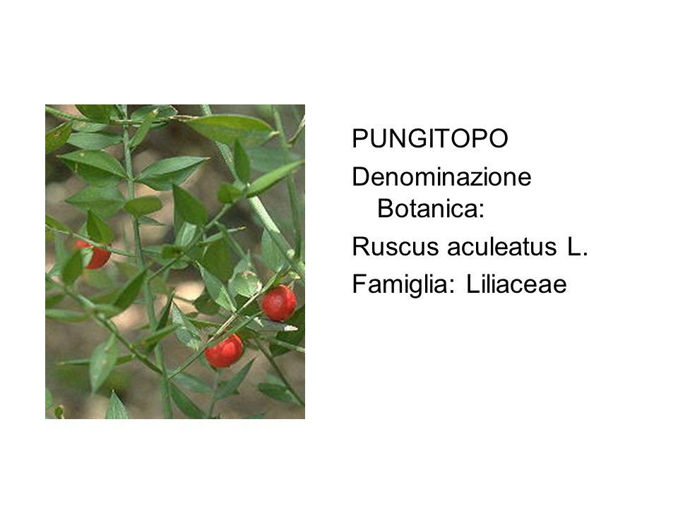 PUNGITOPO Denominazione Botanica: Ruscus aculeatus L. Famiglia: Liliaceae