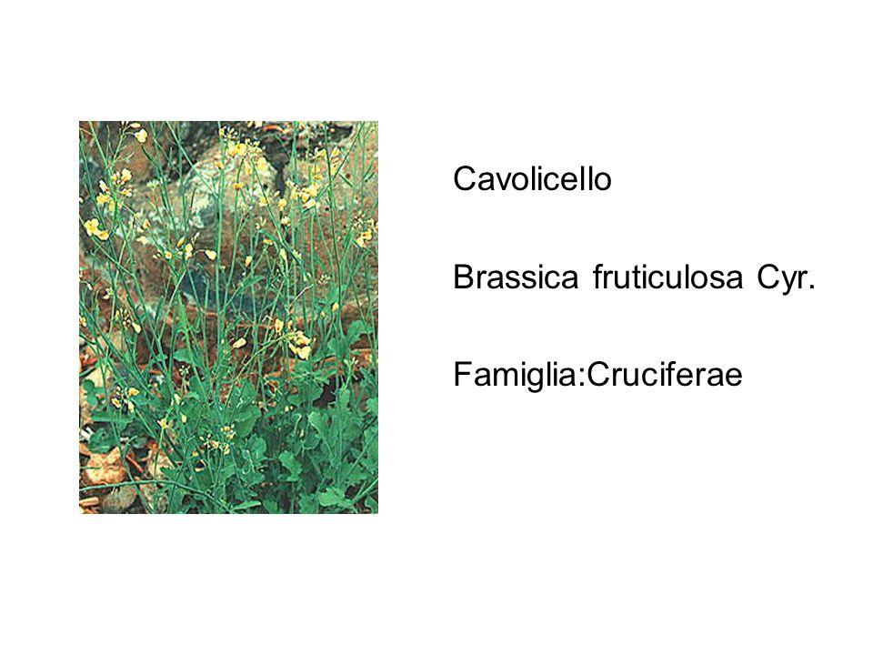 Cavolicello Brassica fruticulosa Cyr. Famiglia:Cruciferae