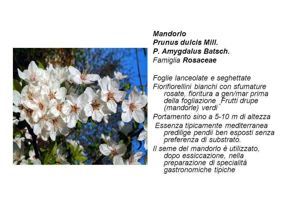 Mandorlo Prunus dulcis Mill. P. Amygdalus Batsch. Famiglia Rosaceae. Foglie lanceolate e seghettate.