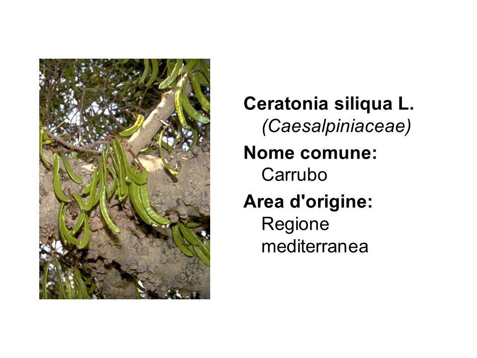 Ceratonia siliqua L. (Caesalpiniaceae)