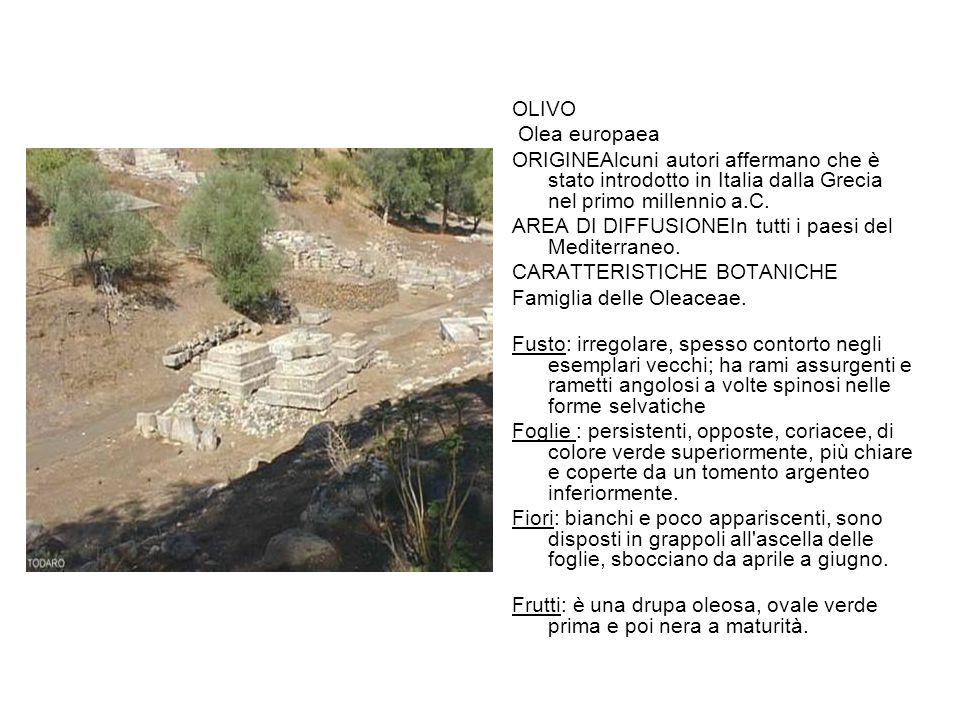 OLIVO Olea europaea. ORIGINEAlcuni autori affermano che è stato introdotto in Italia dalla Grecia nel primo millennio a.C.