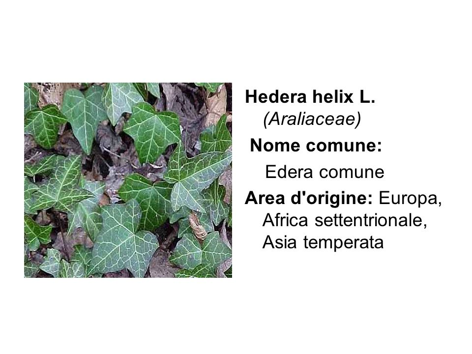 Hedera helix L. (Araliaceae)