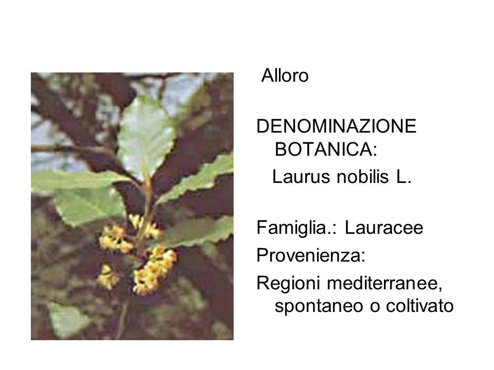 Alloro DENOMINAZIONE BOTANICA: Laurus nobilis L. Famiglia.: Lauracee.