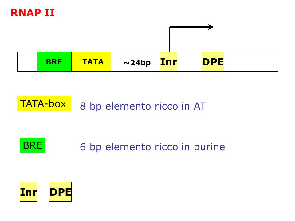 6 bp elemento ricco in purine